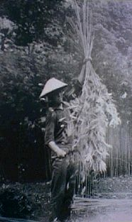 Hemp harvest in Miasa Mura, 
